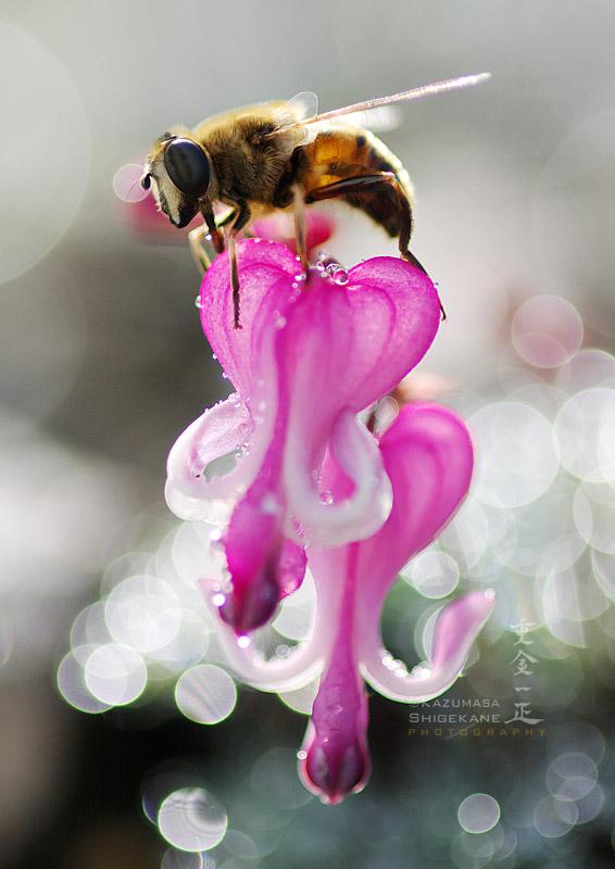 ミツバチとコマクサ
