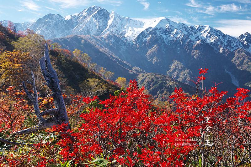 ドウダンツツジの紅葉と五龍岳