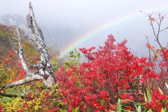 ドウダンツツジの紅葉と虹