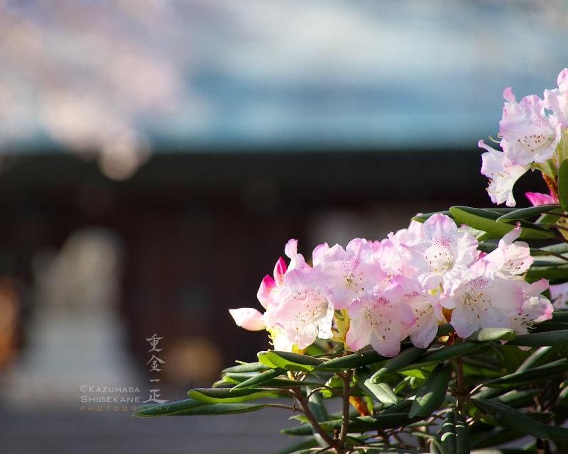 所澤神明社 石楠花