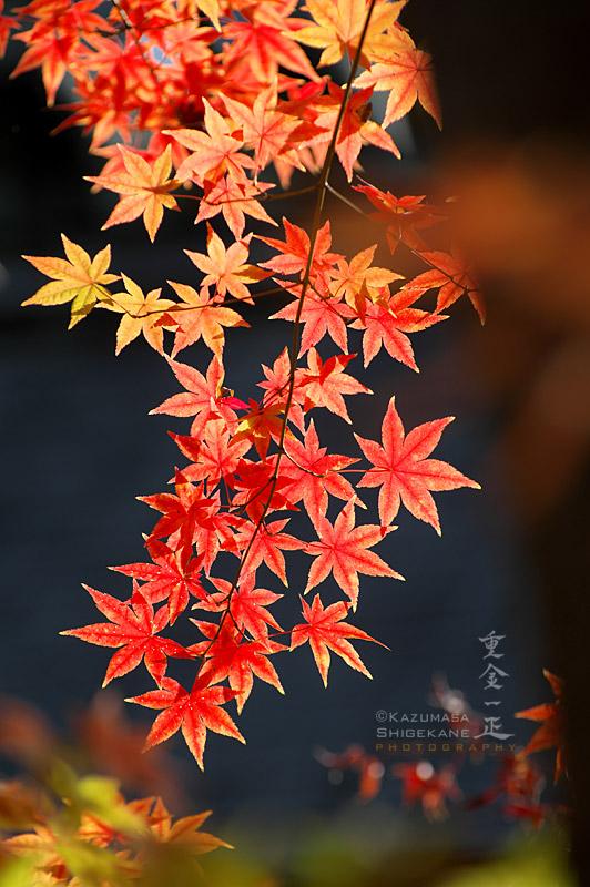 所澤神明社 御本殿裏の紅葉