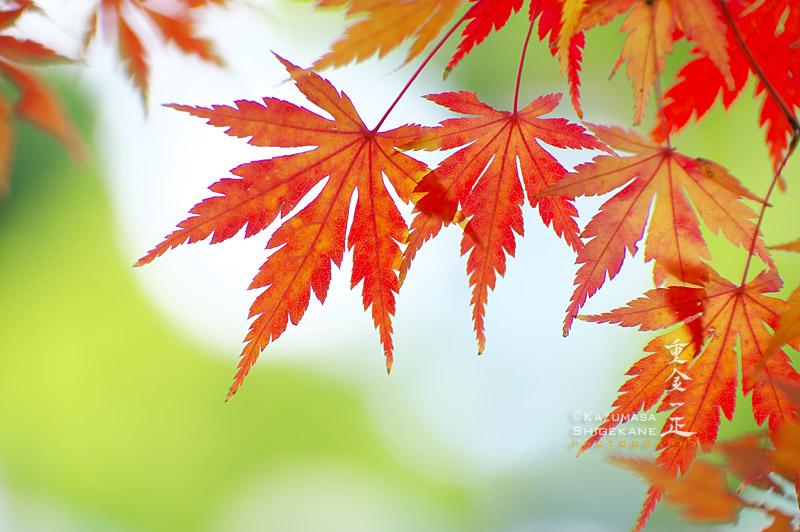 所澤神明社 境内の紅葉
