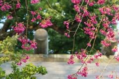 所澤神明社の寒緋桜