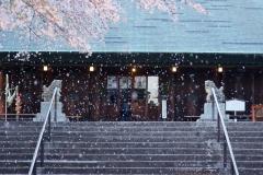 所澤神明社 桜舞う