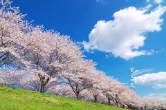 花見撮り 桜
