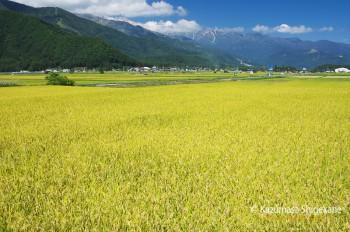 白馬村の稲田(d20150922-303)