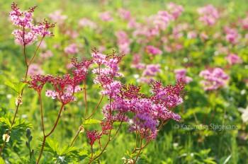 白馬五竜高山植物園のアカバナシモツケソウ d20150801-047