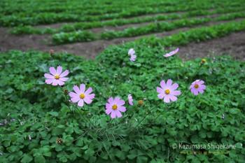 秋桜 d20151031-051