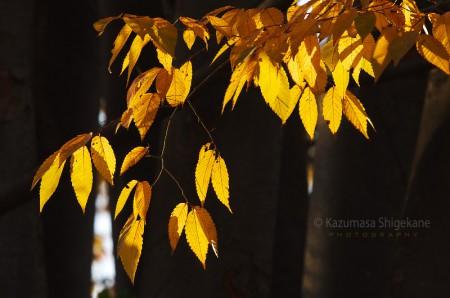 欅の黄葉 d20151209-002