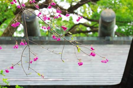 カンヒザクラ(所澤神明社) d20160312-024
