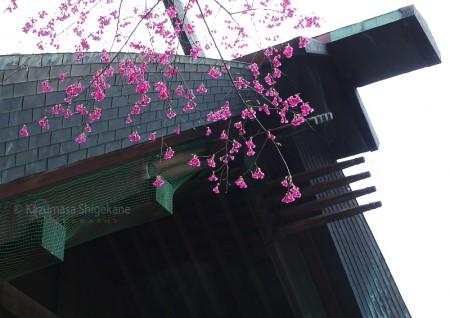 カンヒザクラ(所澤神明社) d20160312-061