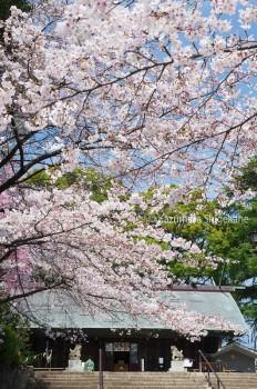 所澤神明社の桜 d20160331-044