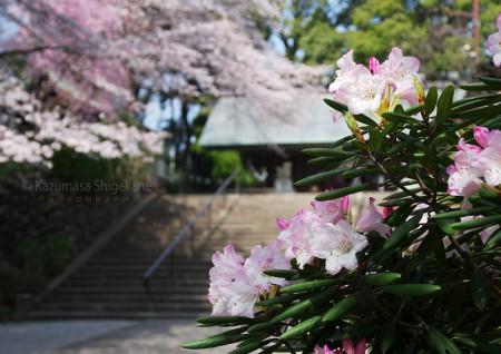所澤神明社の桜 d20160331-054