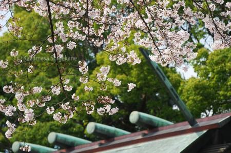 所澤神明社の桜 d20160331-075