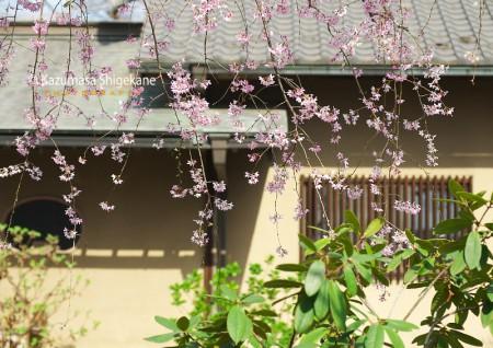 所澤神明社の桜 d20160331-114