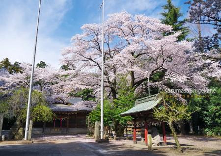 所沢市 北野天神社 d20160406-016
