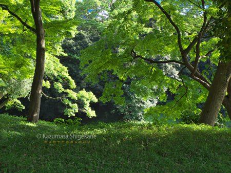 小石川後楽園 楓の木