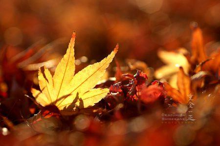 楓の紅葉(落ち葉)