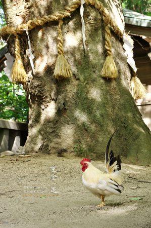 穂高神社の鶏