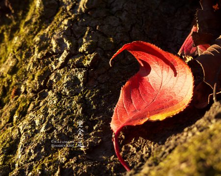 北野天神社 桜の木の紅葉
