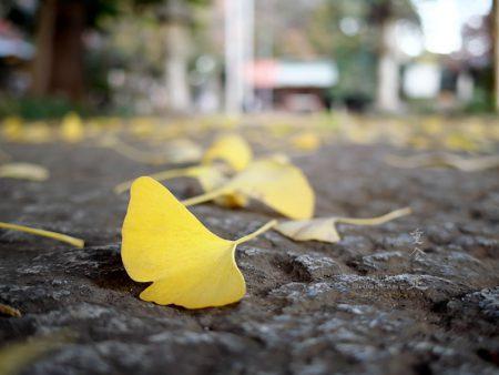 北野天神社 銀杏の黄葉
