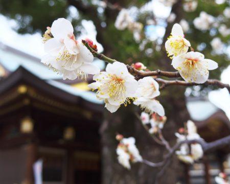 湯島天満宮 梅の花