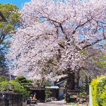 澤田泉山寺子屋跡の桜